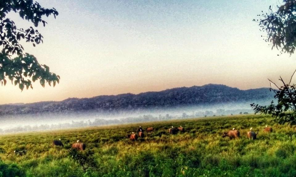 Safari in Kaziranga, buffaloes in the morning mist